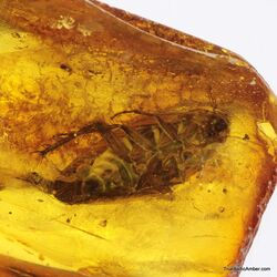 Big COCKROACH in Baltic amber fossil stone
