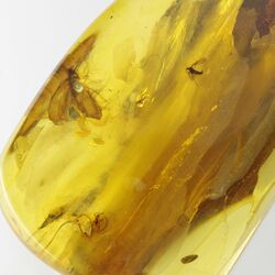 Insect inclusions in Baltic amber fossil stone