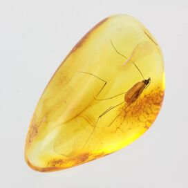 Crane Fly Insect in Baltic Amber Fossil Specimen